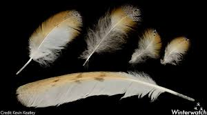 Image result for barn owl feathers